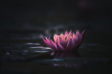 drawing style waterlily or lotus flower in pond