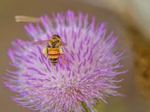 Bee In Purple Flower, Fort DeS...