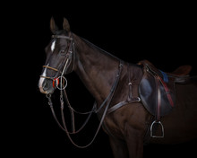 Portrait Of A Chestnut Horse In Sport Style On Black Background Isolated: Bridle, Reins And Saddle Close Up