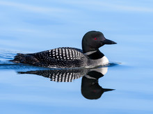 Common Loon With Reflection Sw...