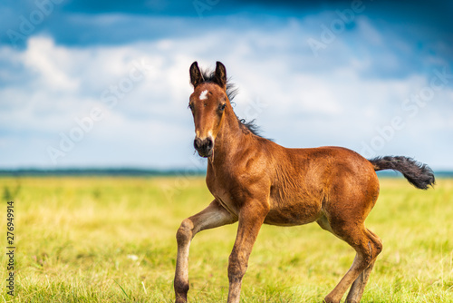 Foto Young foal frolics on the field.