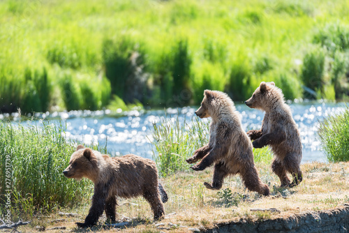 Fotografie, Obraz Grizzly at Katmai