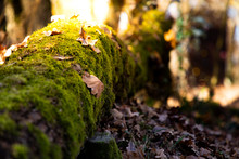 Close Up Of A Trunk With Moss And Sunset Sunlight