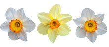 Three Daffodils, Two White Wit...