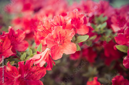 Tuinposter Azalea small Rhododendron pink flowers