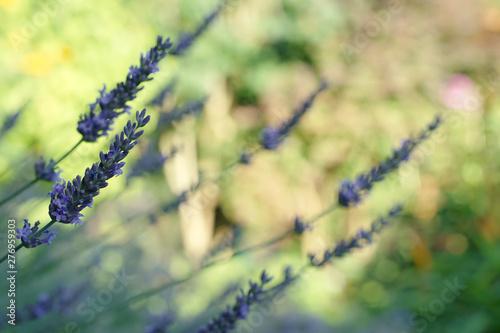 lawenda w ogrodzie - 276959303