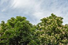 Flowering Chestnut Horse Trees...