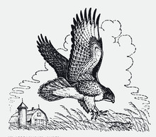 Red-tailed Hawk, Buteo Jamaicensis Hunting A Mouse In A Field Near A Farm House. Illustration After An Antique Engraving From The Early 20th Century
