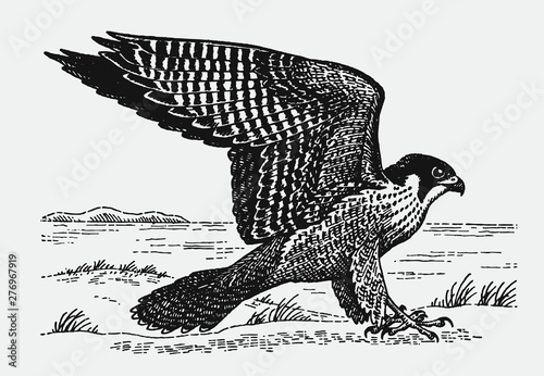 Photo  Peregrine falcon (falco peregrinus) sitting on the ground and spreading its wings