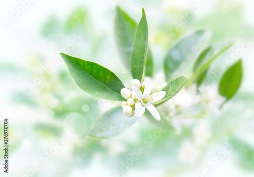 Neroli flowers and buds after spring rain on the blurred garden background. Azahar blossom. - 276970704