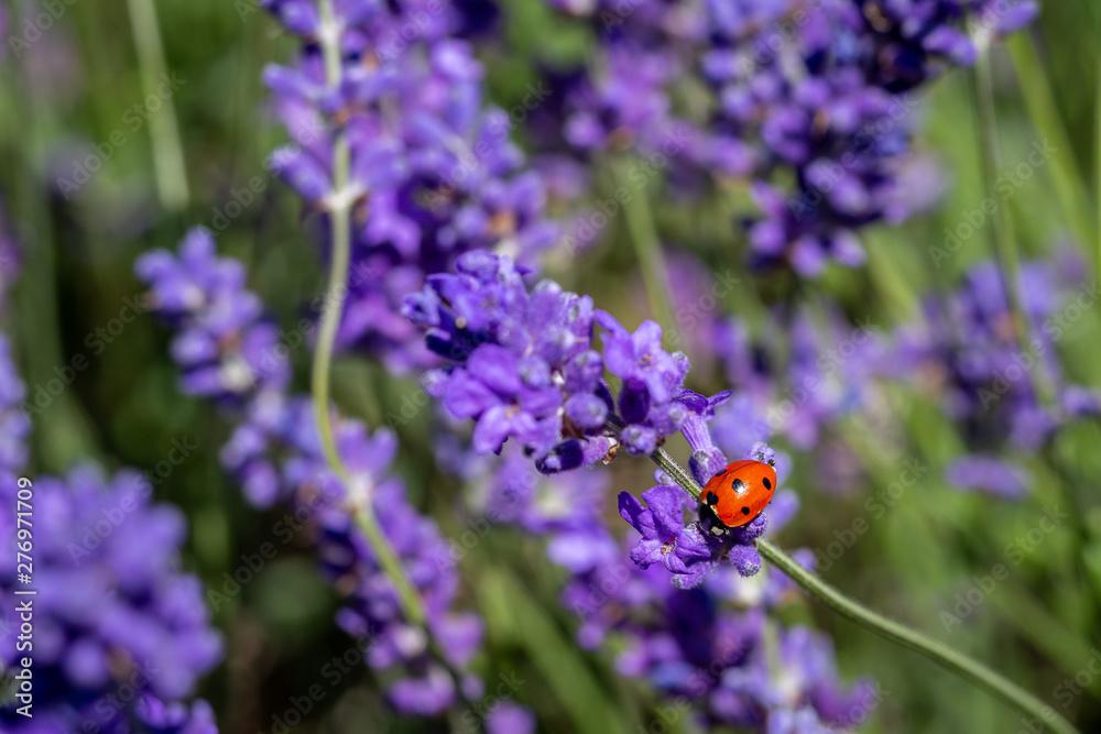 Fototapety, obrazy: Seven spot ladybird on a lavender plant