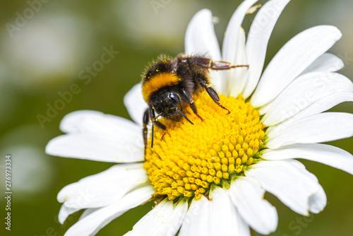 bumblebee Fototapete