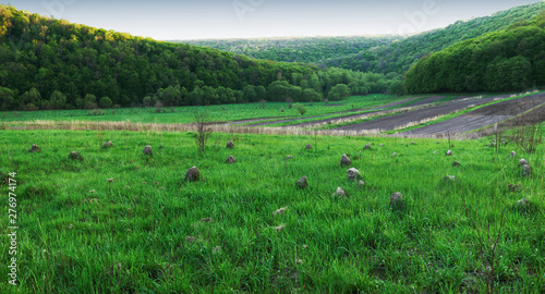 Foto op Plexiglas Groene Panoramic view of the beech forest in the spring in the mountains.