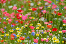 Summer Meadow Edge To Edge Full Of Vibrant Wildflowers