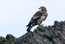 Juvenile Bald Eagle Perched On...