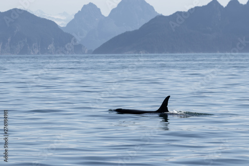 Fotografie, Obraz  Orca swimming in the sea with mountains in the background