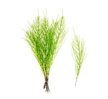 Plant Equisetum Arwense Isolat...