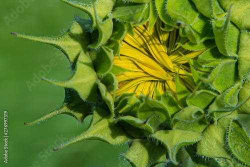 Close up of sunflower prior to bloom Canvas-taulu
