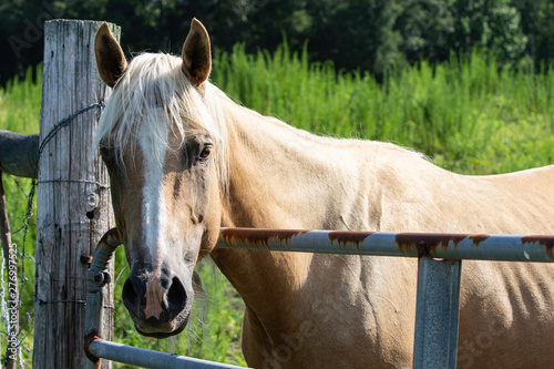 Palamino horse looking over gate