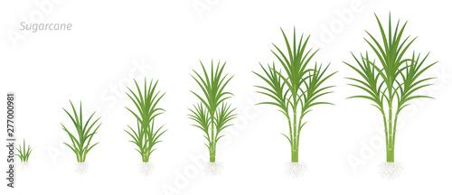Crop stages of Sugarcane Billede på lærred