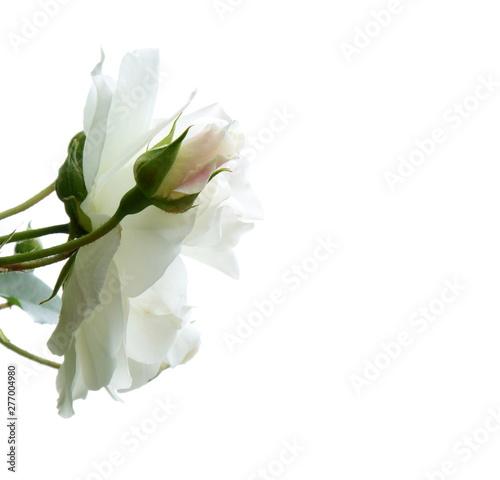 Weiße edle Rosen vor hellen Hintergrund