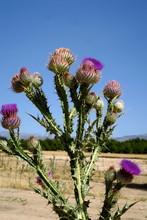 Fleurs De Chardon Mauves Sur F...