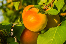 Apricot Fruits Illuminated By ...