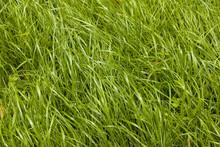Uncut Grass Background