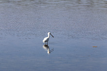 A Lone White Heron Stands In The Water