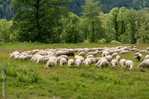 Foto op Canvas Schapen Flock of sheep along the long-distance hiking trail Neckarsteig in Germany