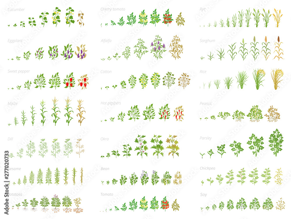 Fototapety, obrazy: Agricultural plant, growth set animation. Bean, tomato eggplant pepper corn grain and many other. Progression growing plants. Vector flat.