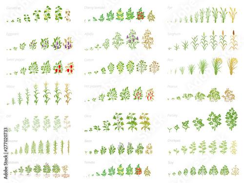 Fotografía Agricultural plant, growth set animation