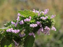 Purple Flowers Of Wild Plant Dead Nettle