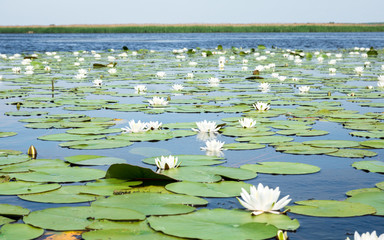 field of white water lilies on the lake