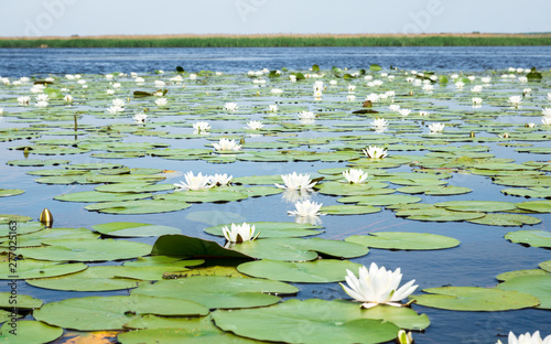 La pose en embrasure Nénuphars field of white water lilies on the lake