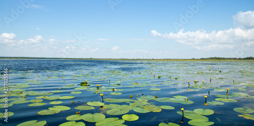 Deurstickers Waterlelies field of small yelloy water lilies on the lake