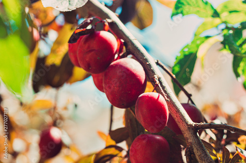 Valokuva Yellow plums in a tree, healthy food, orchard