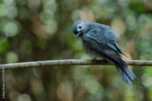 Ashy Drongo bird perched on a branch Wallpaper Mural
