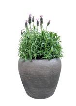 Purple Lavender Flowers In Pot...