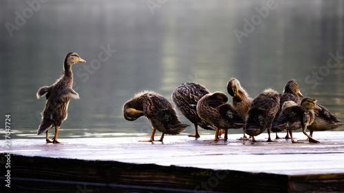 Fotografie, Obraz  Ducklings