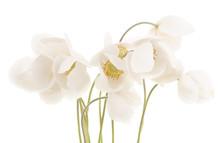 Bouquet Of White Anemones.