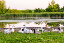 A Herd Of Ducks On The River Bank. Breeding Ducks_