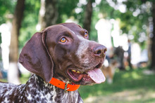 Dog Breed  German Shorthaired Pointer With A Lovely Gaze , Portrait Of A Dog Close-up_
