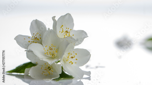 Jasmine flower on the white background,select focus Canvas Print