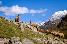 Group Of Adults Ibex Lying On The Grass With Long Horns In A Summer Sunny Day. Gran Paradiso National Park Fauna, Italy Alps Mountains, Europe