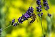 Insekten und Lavendel