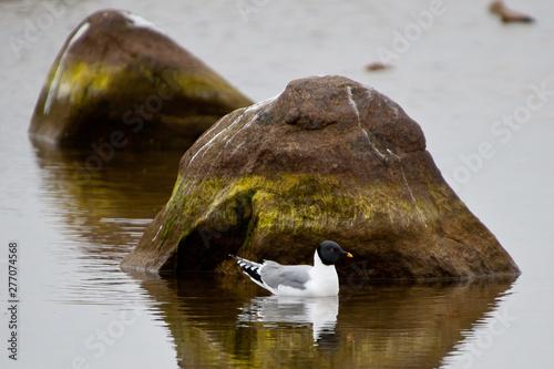 Photo A sabine gull (xema sabini) floats on still arctic water