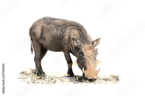 Photo  Warthog feeding on short grass in artistic conversion high key