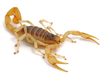 Giant Desert Hairy Scorpion, H...