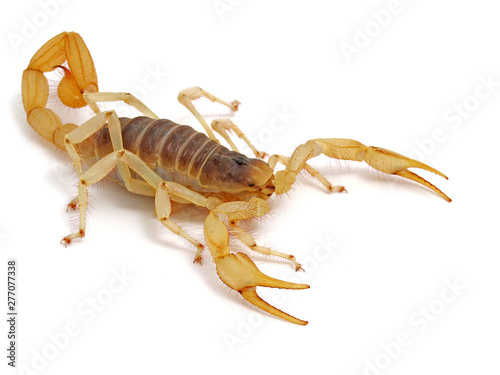 Photo giant desert hairy scorpion, Hadrurus arizonensis, side view on white background